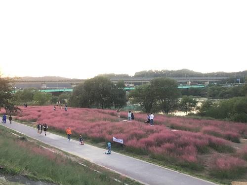 깊어가는 가을, 금강을 수놓은 분홍 물결 (1).JPG