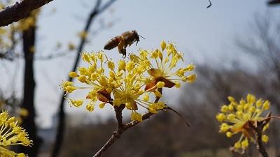 봄꽃 향기 가득한 한밭수목원에서 봄 마중해요-한밭수목원 산수유(4).jpg