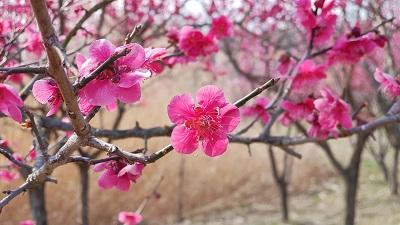 봄꽃 향기 가득한 한밭수목원에서 봄 마중해요-한밭수목원 홍매화(3).jpg